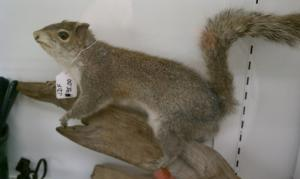 Stuffed Squirrel on display (& for sale!) at Hoke·E·Geez (Bedford, PA)